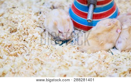 Cute Exotic Red-eyed Lilac Dwarf Campbell Hamster Eating Pet Food. Campbell Hamster Is Known As Russ
