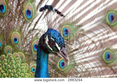 Close view of a beautiful displaying male peacock poster
