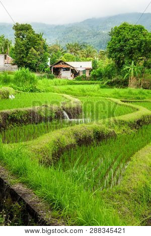 Lush green rice field or paddy in Bali with traditional home in the background in a scenic travel landscape