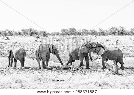 Social Interaction Between Two African Elephants, Loxodonta Africana, At A Waterhole In Northern Nam