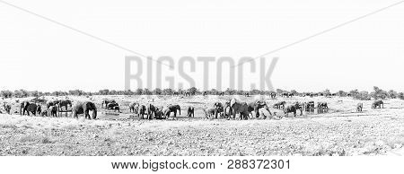 Panorama Of A Large Herd Of African Elephants, Loxodonta Africana, At A Waterhole In Northern Namibi