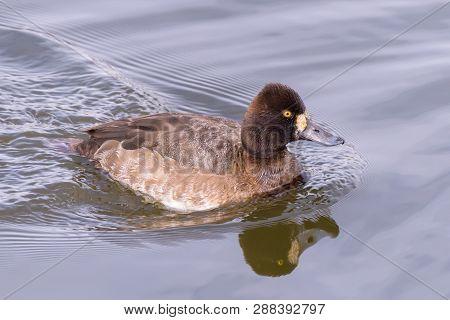 Female Duck, Lesser Scaup In A Calm Pond.