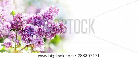 Spring Nature Poster Template. Blossoming Syringa Vulgaris Lilacs Bush. Beautiful Springtime Floral