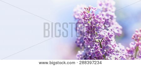 Beautiful Springtime Floral Background With Bunch Of Violet Purple Flowers. Blossoming Syringa Vulga
