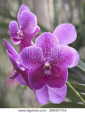 An Epiphytic Orchid Flower In The Genus Vanda