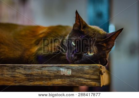 Black Cat Lies On A Wooden Bench And With Dreamy Eyes Looks Into The Camera, Has Yellow-green Eyes