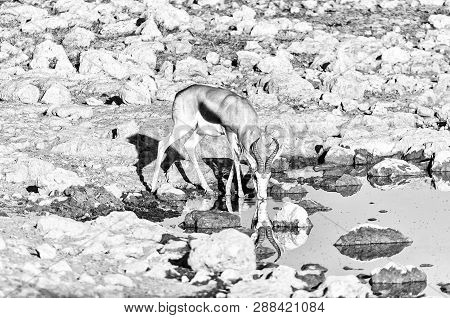 A Springbok (antidorcas Marsupialis), With Reflection, Drinking Water At A Waterhole In Northern Nam