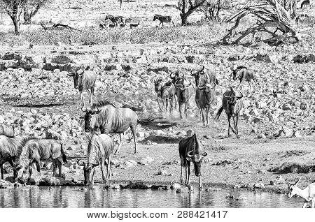 Blue Wildebeest, Connochaetes Taurinus, Also Called A White-bearded Wildebeest Or Brindled Gnu, Drin