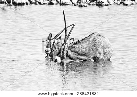 Two Oryx, Also Called Gemsbok, One With A Deformed Horn, One With Broken Horn, In A Waterhole In Nor