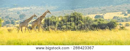 Authentic True South African Safari Experience In Bushveld In A Nature Reserve