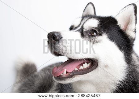 Husky in White background. Pedigree dog. Beautiful husky dog looking at the camera poster