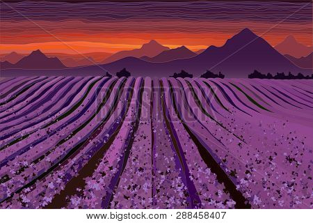 Lavender Field At The Dusk. Lines Of Flower Bushes