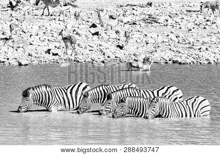 Burchells Zebras, Equus Quagga Burchellii, Drinking Water In A Waterhole In Northern Namibia. Monoch