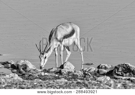 A Springbok (antidorcas Marsupialis) Drinking Water In A Waterhole In Northern Namibia. Monochrome