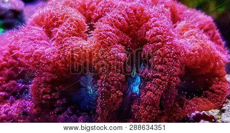 Blastomussa Sp. Lps Coral Living Decoration In Reef Aquarium Tank