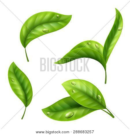 Realistic Green Tea Leaves With Drops Isolated On White Background. Illustration Of Tea Green Leaf,