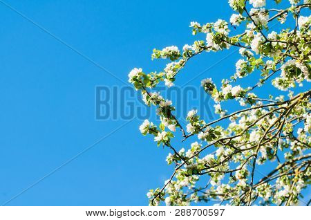 Spring flower landscape. Spring flowers of blooming apple tree against blue sunny sky, spring landscape view
