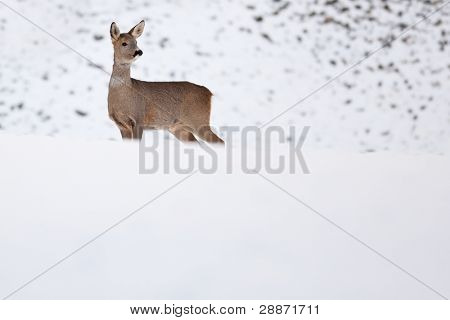 Roebuck (capreolus capreolus) in winter