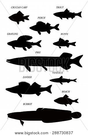 Freshwater Fish Of Europe (pike, Perch, Vendace, Trout, Etc.). Vector Drawn Silhouettes Images Colle