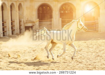 Pure-bred White Arabian Horse Runs At Sunset Light In A Paddock. The Traditional Stable Is Part Of O