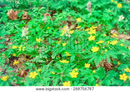 Group Of Growing Blooming Anemone Ranunculoides In Spring Forest