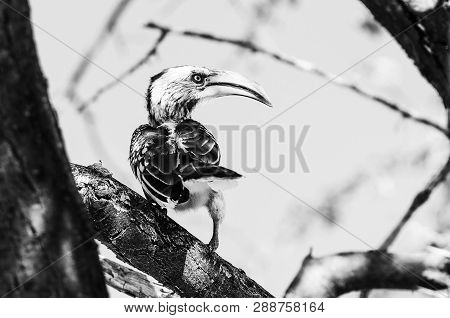 A Southern Yellow-billed Hornbill, Tockus Leucomelas, On A Tree Branch In Northern Namibia. Monochro