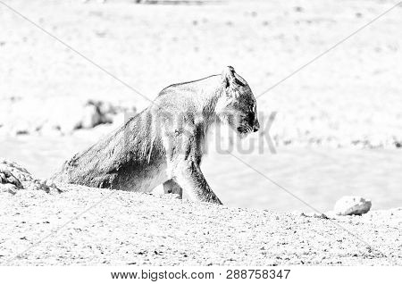 A Scarred African Lioness, Panthera Leo, With Visible Wounds, At A Waterhole In Northern Namibia. Mo