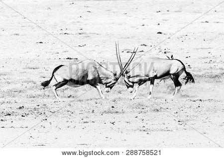 Two Oryx (also Called Gemsbok), Oryx Gazella, Fighting In Northern Namibia. Monochrome