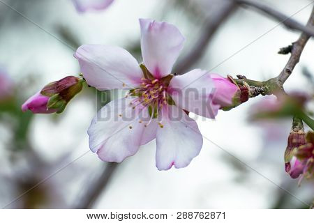 A Simgle Flower Of A Beautifully Blossoming Almond Tree. Close-up Small White Pink Flowers With Yell