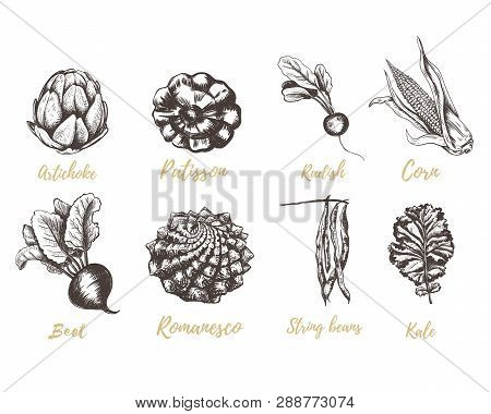 Set Vegetables Radishes, Beets, Beans, Kale, Romanesco, Squash, Corn, Artichoke Sketch. Vegetable Co