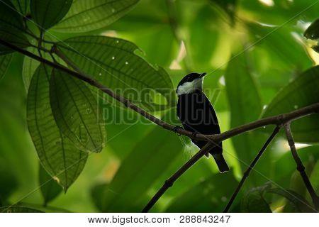 White-ruffed Manakin - Corapipo Altera  Passerine Bird In The Manakin Family. It Is A Resident Breed