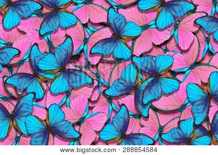Pink And Blue Natural Pattern. Abstract Pattern Of Morpho Butterflies. Wings Of A Butterfly Morpho.