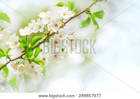 Spring Flowering Tree. A Branch Of A Tree With Flowers In Spring