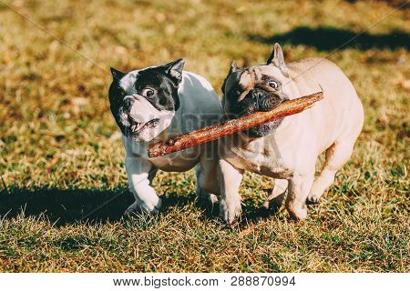 Beautiful French Bulldog Puppy Dog Pup Puppy Whelp Outdoor In Spring