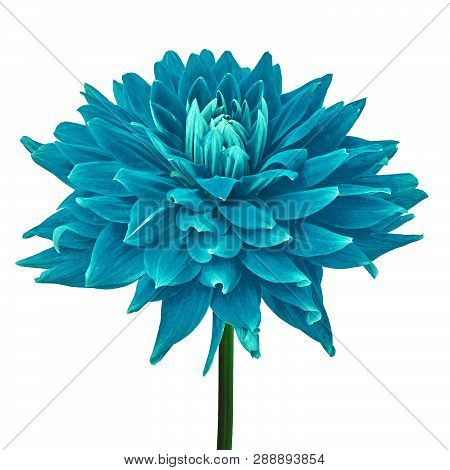 Cerulean Cyan Dahlia Flower Isolated On A White  Background With Clipping Path. Close-up. Flower On