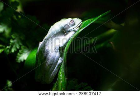 A Morelet's Tree Frog (agalychnis Moreletii) Sleeps On A Leaf In The Dark Jungle.