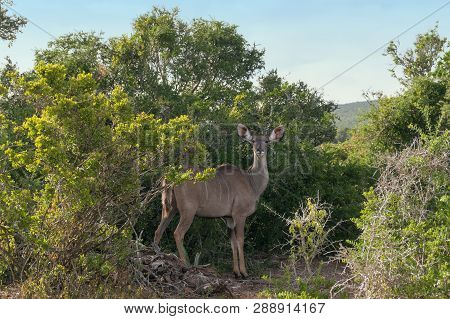 Wild Female Kudo Antelope Looking At Camera In Natural Habitat