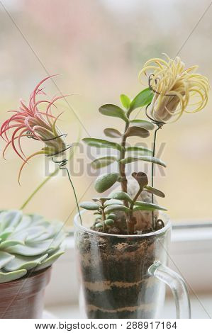 Houseplants Growing On Windowsill: Air Plant Tillandsia Ionantha And Jade Plant. Tillandsias Are Low