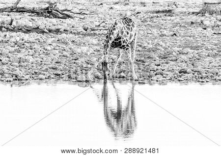 A Namibian Giraffe, Giraffa Camelopardalis Angolensis, Drinking Water At Sunset At A Waterhole In No
