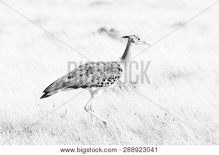 A Kori Bustard, Ardeotis Kori, Walking Through Grass In Northern Namibia. It Is The Heaviest Bird On