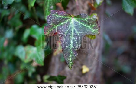 An English Ivy (hedera Helix) Leaf Shows Purple Colors As Temperatures Get Lower In The Winter, Foun