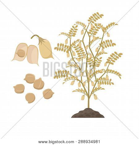 Ripe Chickpea Plant With Open Pods And Chick Peas Seeds Isolated On White Background Vector Illustra
