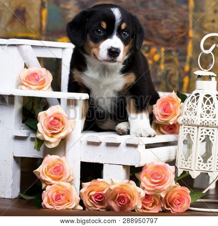 Entlebucher Mountain Dog puppy and roses