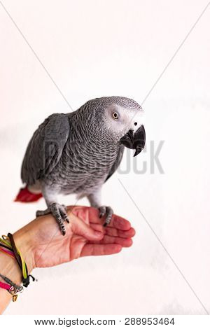 Close-up Portrait Of A Gray Parrot In Hand.