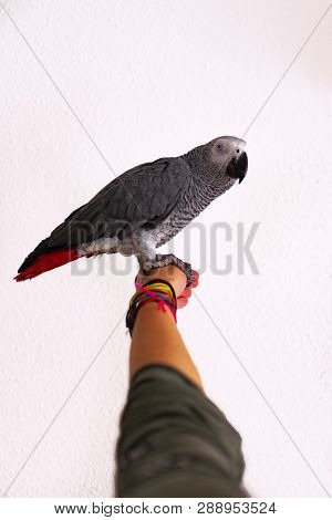Close-up Portrait Of A Gray Parrot In Hand