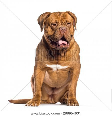 Dogue de Bordeaux, 4 years old, sitting in front of white background