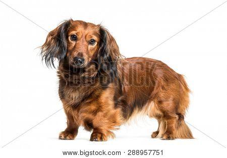 Dachshund, sausage dog, wiener dog in front of white background