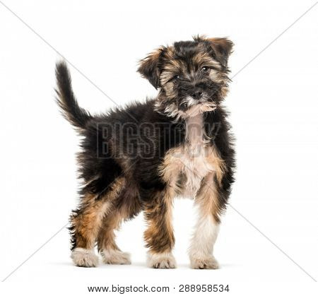 Cross breed puppy, 5 months old, in front of white background