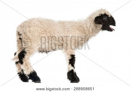 Lamb standing and baaing in front of white background