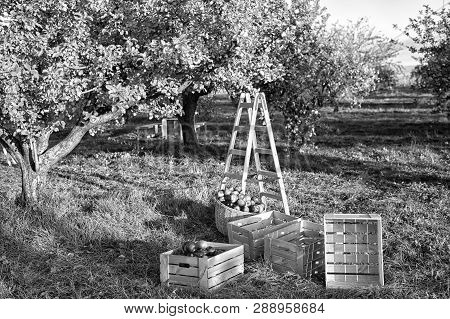 Gardening And Harvesting. Fall Apple Crops Harvesting In Garden. Apple Tree With Fruits On Branches